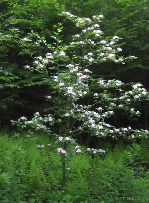 Blooming Hawthorn Tree